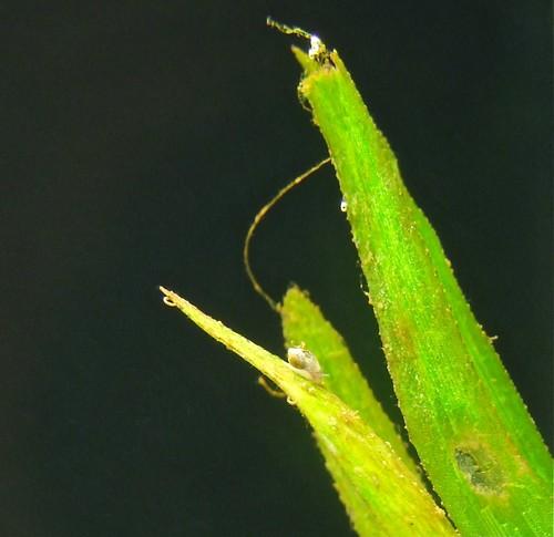 Tanganyika spécifique Neolamprologus multifasciatus 5787477750_43df32c256