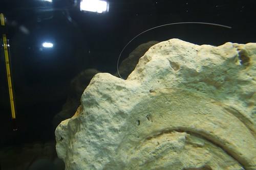 Tanganyika spécifique Neolamprologus multifasciatus 5747004255_1f97a2098c