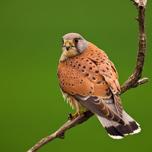 Falconiformes. sub Falconidae - sub fam Falconinae - gênero Falco - Página 3 3449705459_420968f219