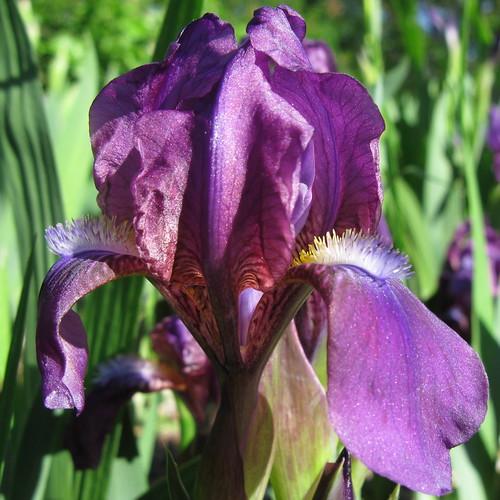 Iris barbus : définitions - classements 3615669216_065a45cc25