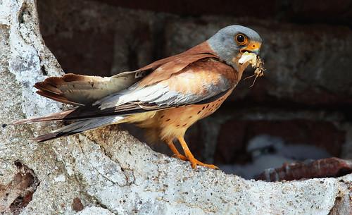 Falconiformes. sub Falconidae - sub fam Falconinae - gênero Falco - Página 2 3701982370_ae96441327