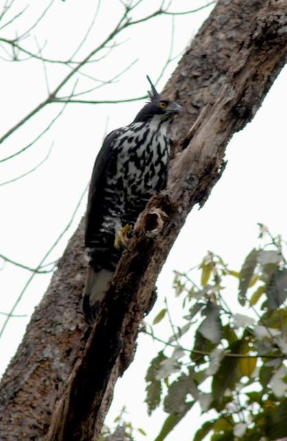 Falconiformes. Família  Acciptridae - Subfamília Buteonidade- Gaviões de penacho. genêro SPIZAETUS 2358140836_931c50b5ff_z