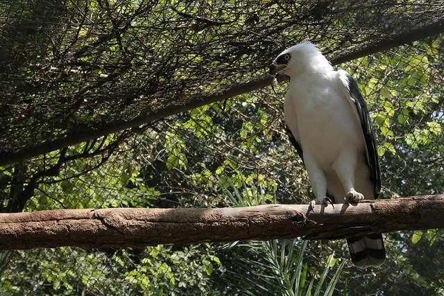 Falconiformes. Família  Acciptridae - Subfamília Buteonidade- Gaviões de penacho. genêro SPIZAETUS 2817152823_8447f92737_z
