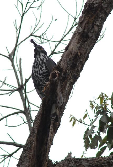 Falconiformes. Família  Acciptridae - Subfamília Buteonidade- Gaviões de penacho. genêro SPIZAETUS 2358433598_060332b5fb_z