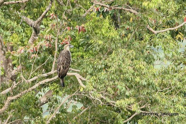 Falconiformes. Família  Acciptridae - Subfamília Buteonidade-Águias coroadas - gênero Pitecophaga jefferyi . Águia das Filipinas. 2869337932_11c3160101_z