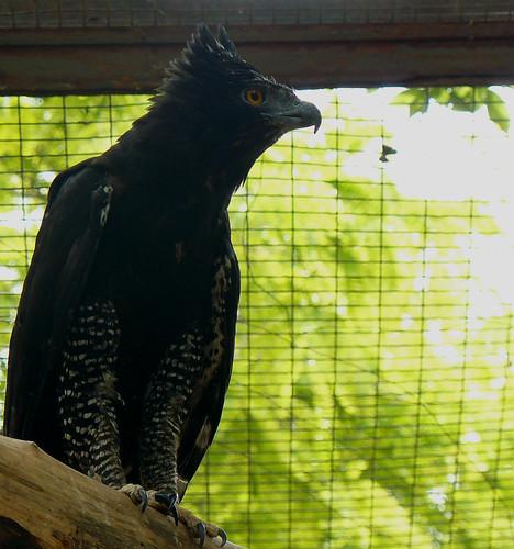 Falconiformes. Família  Acciptridae - Subfamília Buteonidade- Gaviões de penacho. genêro SPIZAETUS 3652931338_8154f4a49a