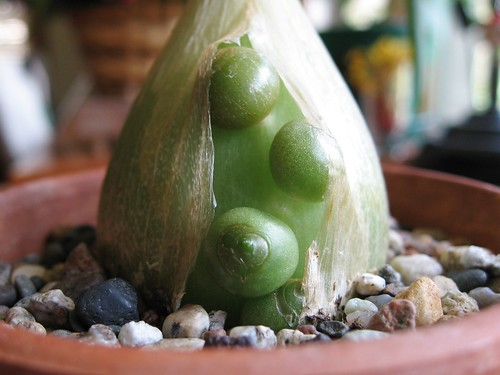 Pregnant Onion