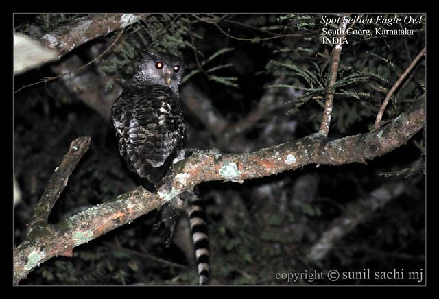 Strigformes: Famíla Strigidae- sub fam. Buteonidae. Género Ketupa (por vezes incluído em Bubo) 4626526782_f259fefd27_z