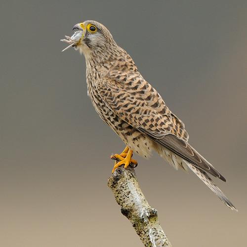 Falconiformes. sub Falconidae - sub fam Falconinae - gênero Falco - Página 3 3300689194_d826cf47d0
