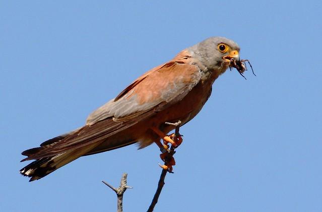 Falconiformes. sub Falconidae - sub fam Falconinae - gênero Falco - Página 2 3729484858_c9320dea2f_z
