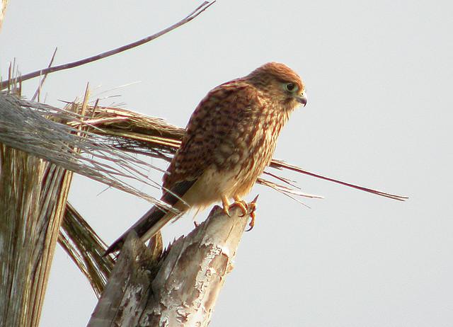 Falconiformes. sub Falconidae - sub fam Falconinae - gênero Falco - Página 2 3632837941_53694c9795_z