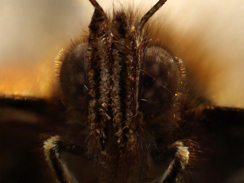 Motiv fotografiranja: Kukci i pauci - Page 2 13131445093_aea30ed52f_c