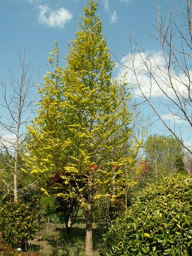 Taxodium distichum 'Gold Rush'