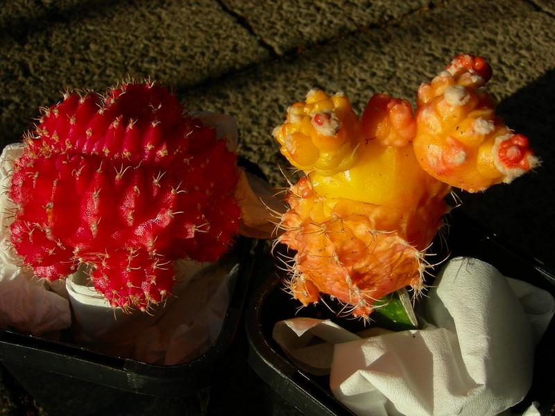 Gymnocalicium crest and monstrose variegates