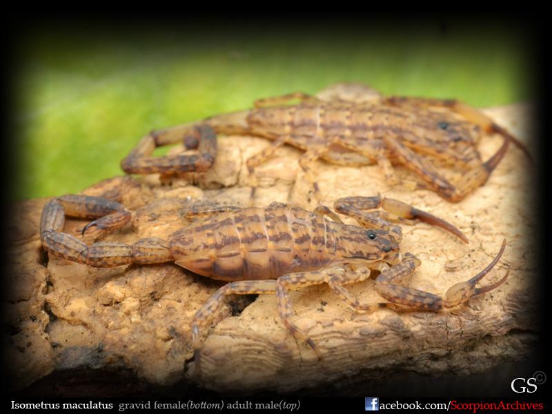 Isometrus maculatus 12071093326_a79918e326_o