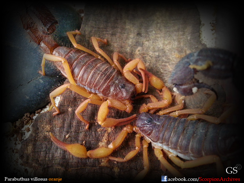 [HOW TO] Guide to Mating Scorpions 12049787855_4815db4c8b_o