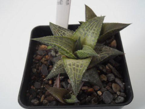 Haworthia venosa ssp. tesselata - Page 2 10158096276_1e238902a9