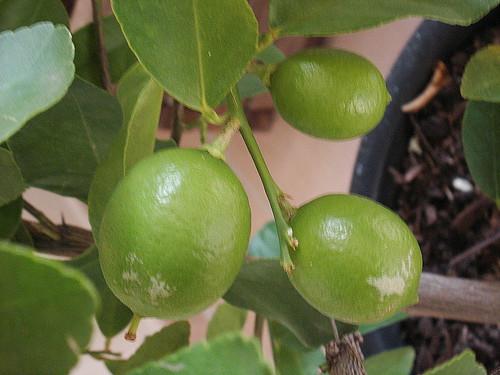 Citrus latifolia 'de Tahiti'