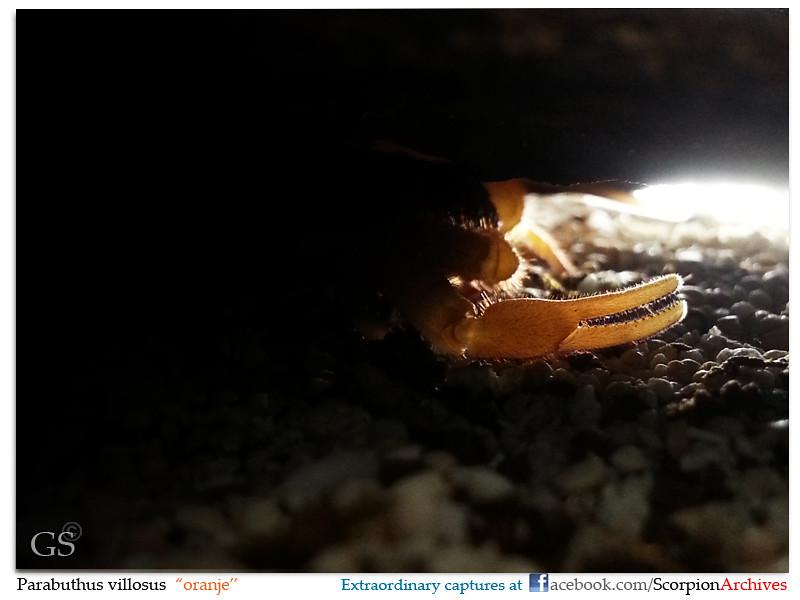 Parabuthus villosus oranje 9159535320_bfeb170736_b