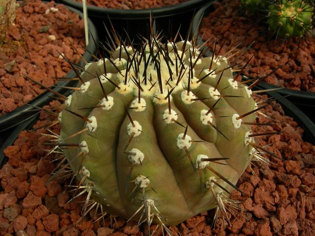 Copiapoa in cultivation 11739292225_425fba29df_z