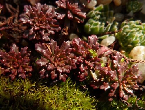 Phedimus middendorffianum 'Striatum' (ex Sedum) 11064024275_96a74ae801