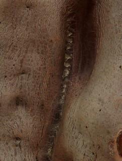 Crassula sarcocaulis 11168208106_78d68e5338_n