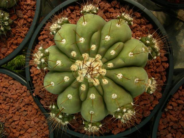 Copiapoa in cultivation 11739516793_cd1e5f3e7b_z