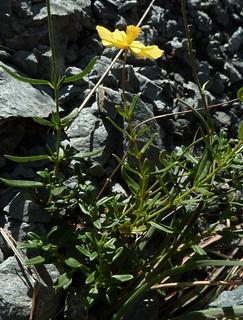 Helianthemum nummularium - hélianthème à feuilles arrondies 10223478183_9ff7b6b937_n