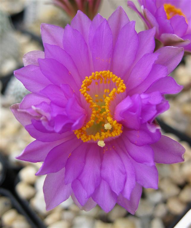 Something unusual - Merged ? Fused? Cristate? Mammillaria theresae flower 10794377833_58b7d8b929_o