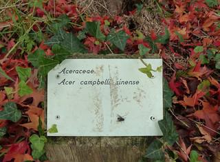 Acer campbellii ssp sinense 10851624433_8240974c8b_n
