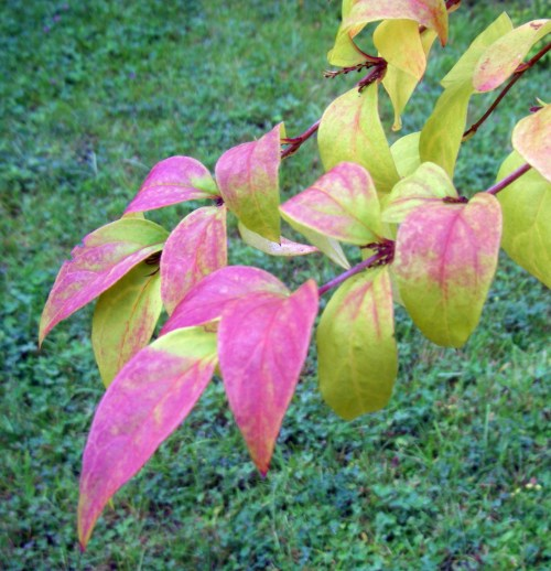 Abeliophyllum distichum 12585387014_216c67ce53_o