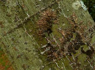 Acer campbellii ssp sinense 10882443726_25a8cd1e75_n