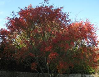 Acer campbellii ssp sinense 10882517784_29cf0beb33_n