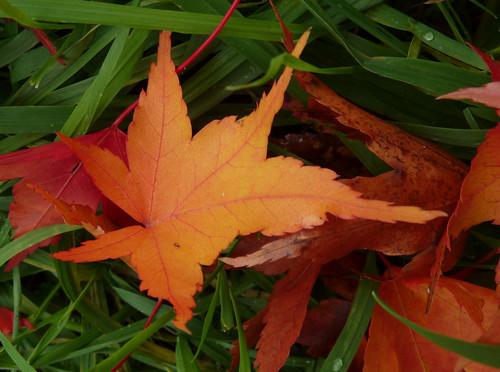 Acer campbellii ssp sinense 10882717173_36c79b9ece
