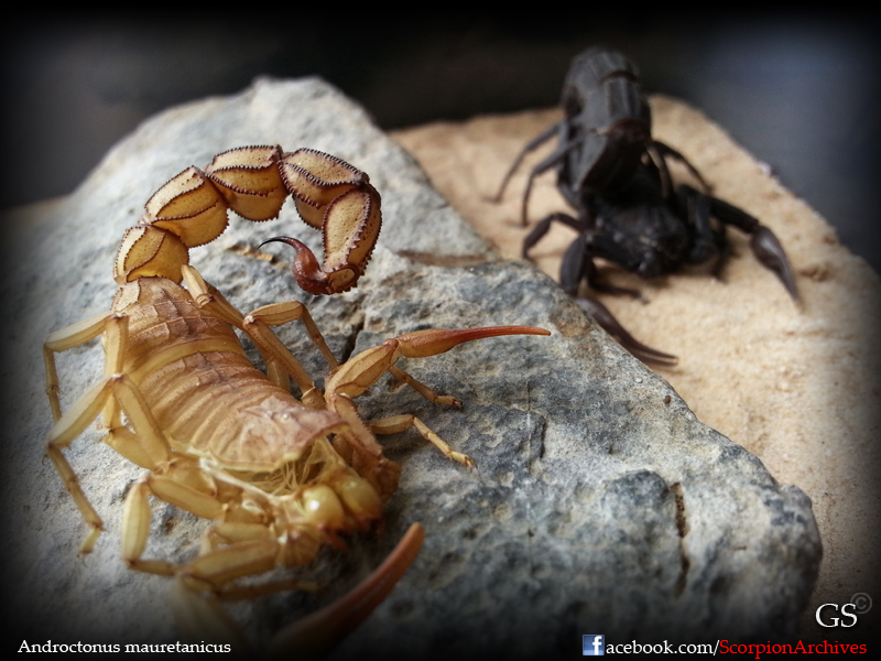 Who molted today? (Scorpion molting pics) - Page 4 12265105046_ed6562feb9_o