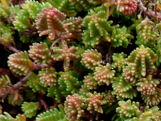 Sedum sexangulare - orpin à six angles - orpin de Bologne 11044154066_2eed8aeda7_n