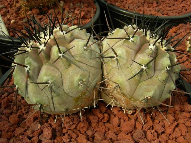 Copiapoa in cultivation 11739719054_80e235e23e_z