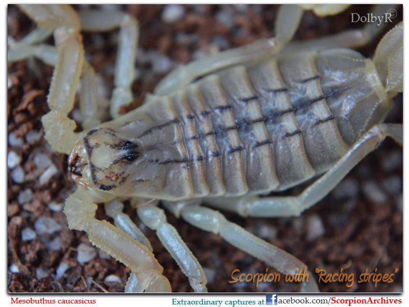 Mesobuthus caucasicus 9424904319_29220c6a86_c