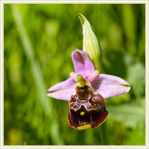Ophrys bourdon et autres orchidées 4634990629_5b438ed16a