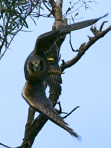 Falconiformes. sub Falconidae - sub fam Falconinae - gênero Falco - Página 2 4702513137_d861b7ca48