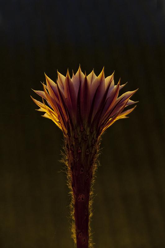 Echinopsis multiplex 4642457321_3eb1e57aa5_o