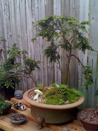 Collected Eastern Hemlock Tsuga Canadensis