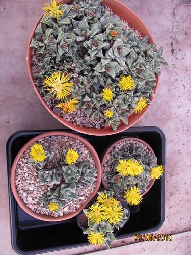 Faucaria tigrina 4595027640_51e8daa519