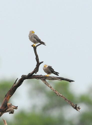 Falconiformes. sub Falconidae - sub fam Falconinae - gênero Falco 4674794000_3c3ac2abe0