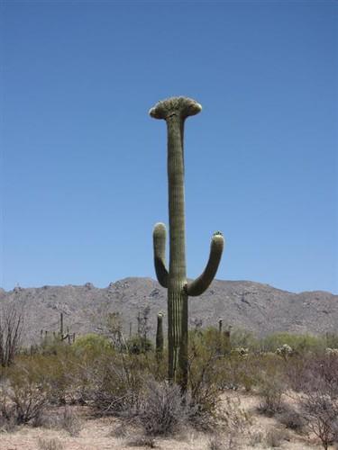 Saguaro Cacti 4666253944_8b5a45a4e0