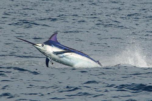 La Pesca Marlin por José Manuel López Pinto - Actualizado al 2 de Enero, 2013 5027231868_53edd7765e
