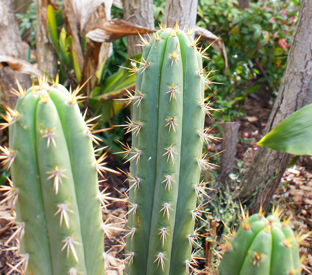 Something Different - Trichocereus :) 4959786088_a03b51f05e_b