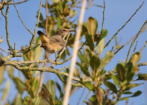 Luscinia svecica - Bluethroat  female - Gorgebleue à miroir (♀) - 09/08/10