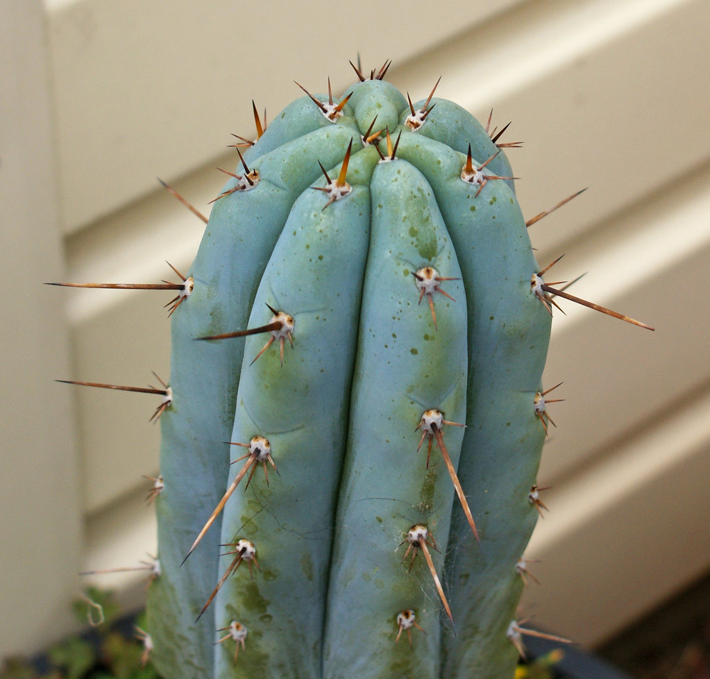 Something Different - Trichocereus :) 4959789178_e9babb1486_b