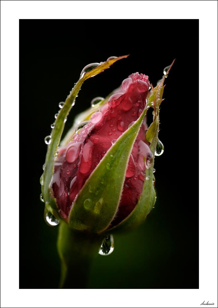 Las lágrimas de Rosa 5603933846_aab45c4617_o